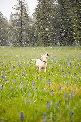 """""""Puppy in Snowy Sagehen Meadows 2"""" - Photograph of a Golden Retriever puppy """"Quill"""" playing in the snow and Camas wildflowers at Sagehen Meadows, a little north of Truckee, California."""