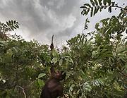 Gadja. Hadza preparing and hunting stork from a blind. At and near the Hadza camp of Mahiya.