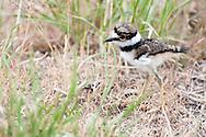 Hatchling Killdeer (Charadrius vociferus) at Malheur National Wildlife Refuge.