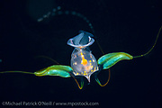 A Sea Butterfly, a variety of pelagic mollusk, drifts in the Gulf Stream Current offshore Palm Beach, Florida, late at night.