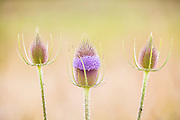 Three spear thistle plants (Cirsium vulgare), also known as bull thistle, begin to bloom in an open field near the Snohomish River in Snohomish, Washington. The spear thistle is native through most of Europe, Western Asia and northwestern Africa and is the national flower of Scotland. It has been introduced to most other continents and is considered an invasive weed in several U.S. states and Australia.