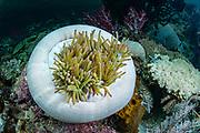 Magnificent Sea Anemone (Heteractis magnifica)<br /> Raja Ampat<br /> West Papua<br /> Indonesia