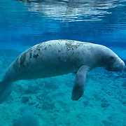 West Indian Manatee, (Trichechus manatus) In freshwater river on west coast of Florida.
