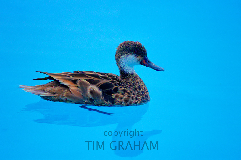 Duck in swimming pool on the Galapagos Islands, Ecuador RESERVED USE - NOT FOR DOWNLOAD -  FOR USE CONTACT TIM GRAHAM