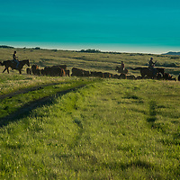 Ranchers herd cattle on the PN Ranch, a private holding in that is part of Upper Missouri River Breaks National Monument and that has been acquired by the American Prairie Reserve.