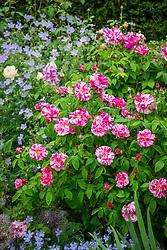 Rosa gallica 'Versicolor'  AGM syn. Rosa mundi 'Versicolor'