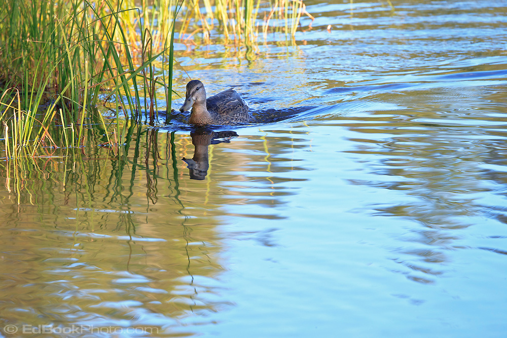 female Mallard duck (Anas platyrhynchos) a surface-feeding duck swimming with a V-shaped wake in Takhlakh Lake in the Gifford Pinchot National Forest, Washington state, USA