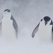 Chinstrap penguins (Pygoscelis antarcticus) trudging back to the colony in a snowstorm, Half Moon Island, Antarctica.