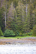 Brown bear, grizzly, Sitka, Alaska