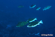 Nassau groupers, courting at spawning aggregation, Epinephelus striatus ( Endangered Species ); two males in bicolor phase pursue a female in normal colors, Lighthouse Reef Atoll, Belize, Central America ( Caribbean Sea )