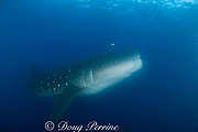 whale shark, Rhincodon typus, filter feeding at dusk on fish eggs from spawning aggregation of snappers, Gladden Spit and Silk Cayes Marine Reserve, Belize, Central America ( Caribbean Sea )