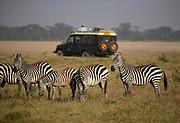 Herd of Zebras and a safari vehicle in the Ngorongoro Crater, Tanzania