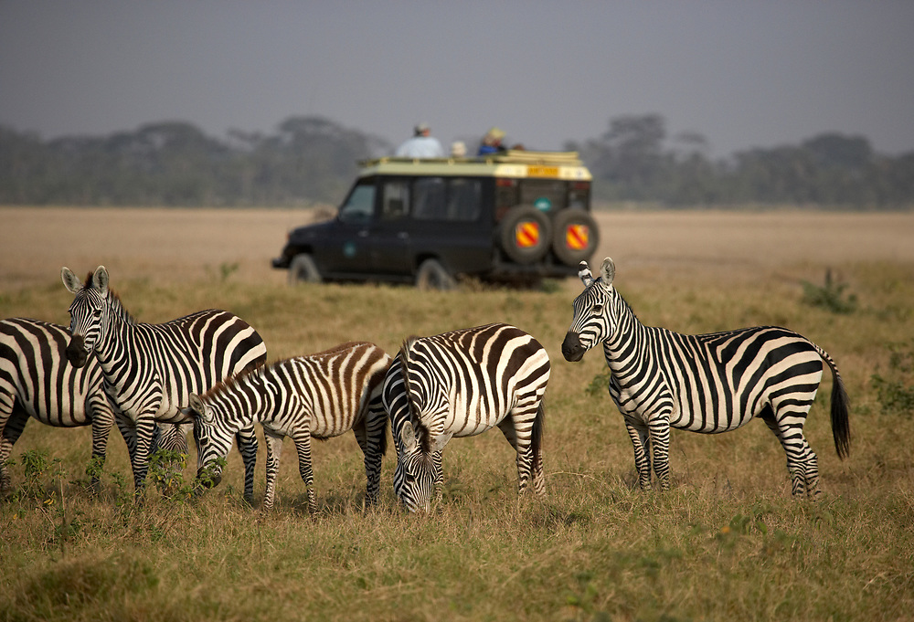 Herd of Zebras and a safari vehicle in the Ngorongoro Crater, Tanzania