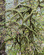 Thick moss hangs from the twisted branches of a tree as autum leaves begin to drop in Silver Falls State Park in Oregon.