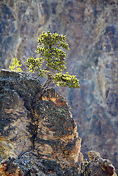 Lone Pine, Grand Canyon of the Yellowstone River