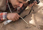The lepidopterologist collecting ticks from a mouse.
