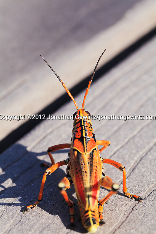 A bright orange/yellow Lubber Grasshopper (Romalea guttata) viewed from above in the Florida Everglades. WATERMARKS WILL NOT APPEAR ON PRINTS OR LICENSED IMAGES.