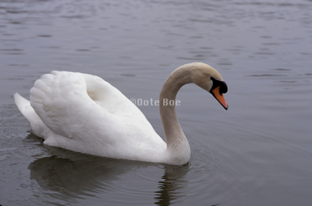 Swan with arched head