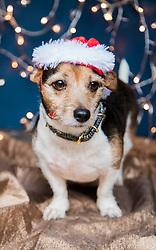 Dog Wearing Christmas Hat