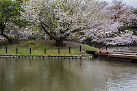 The pond at Tsurugaoka Hachimangu Shrine is the one of the most famous spots in Kamakura for sakura viewing. The Five Peony Garden at Tsurugaoka Hachimangu Shrine - The garden was created in 1980 to commemorate the 800th anniversary of Tsurugaoka Hachimangu Shrine.  The peony garden features, in addition to 5 species of peony, large stones amongst which peonies are planted. These stones were a gift to the shrine from the Chinese government. Traditionally, peonies were always planted in China with special stones that come from the Taihu Lake in Jiangsu Province, China.  This garden was laid out by Chinese workmen along traditional lines.