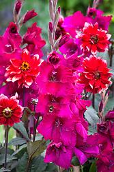 Bees on Gladiolus 'Plum Tart' - Sword lily - with Dahlia 'Darkarin'