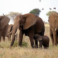 Africa, Kenya, Meru. Baby elephant nursing in Meru national Park.