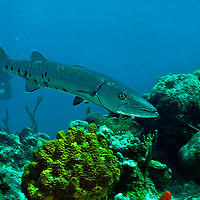 Great Barracuda, Sphyraena barracuda (Edwards in Catesby, 1771), Grand Cayman