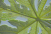 Papaya leaf 3-D design