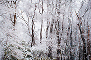 Fresh snow, Pennsylvania woods