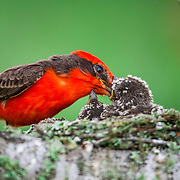 Vermillion flycatcher feeding chicks on a nest on a branch on private land in Texas, USA