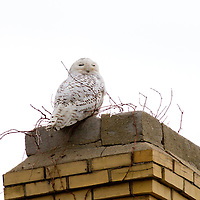 """The Snowy Owl (Bubo scandiacus) seen perched on the chimney of a building located on """"Officers Rows"""" part of Fort Hancock at Sandy Hook Gateway National Park in Monmouth County New Jersey."""