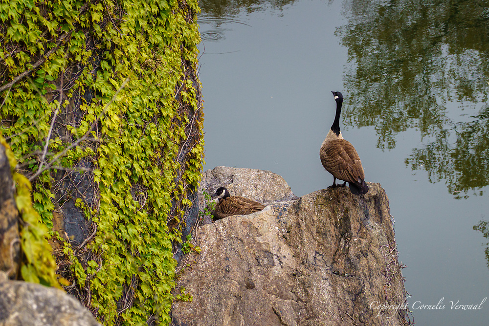 Mother Goose sits patiently on her eggs while dad keeps watch on a rock along Turtle Pond in Central Park