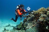20/April/2013 Saudi Arabia. Jeddah.<br /> Investigadores marinos de la universidad de KAUST intentan atrapar un ejemplar de pez payaso en el arrecife de Al-Fahal en el Mar Rojo.<br /> <br /> ©JOAN COSTA