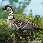 Nene Goose is an endangered species and also the state bird of Hawaii.