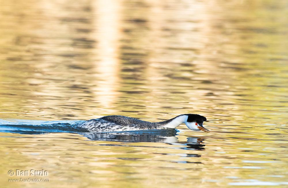 Clark's Grebe, Aechmophorus clarkii, swimming on Upper Klamath Lake, Oregon