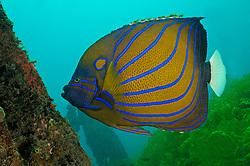 Pomacanthus annularis, Ring-Kaiserfisch, Bluering angelfish, Secret Bay, Gilimanuk, Bali, Indonesien, Indopazifik, Indonesia, Asien, Indo-Pacific Ocean, Asia