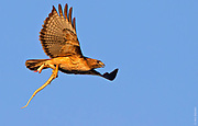 THE ORIGIN OF KITES   Red-tailed hawk aerodynamically adjusts a gopher snake for its only flight experience. Arizona's Sonoran Desert.
