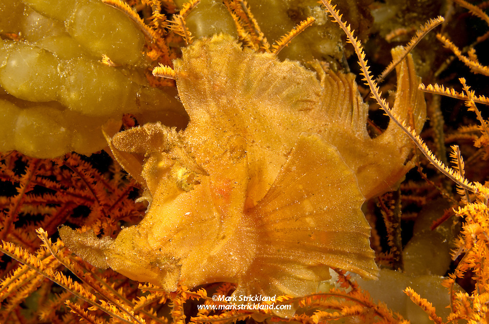 Paddleflap Scorpionfish, Rhinopias eschmeyeri, nestles among black coral branches and squid eggs. Wai Wowang, Pulau Kawula, Alor region, Indonesia