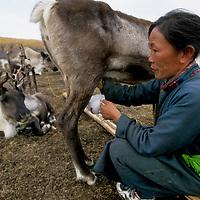 """MONGOLIA, Woman of the Tsataan (""""reindeer people"""") milks one of her reindeer cows."""