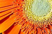 Stock Photo of an Orange Daisy