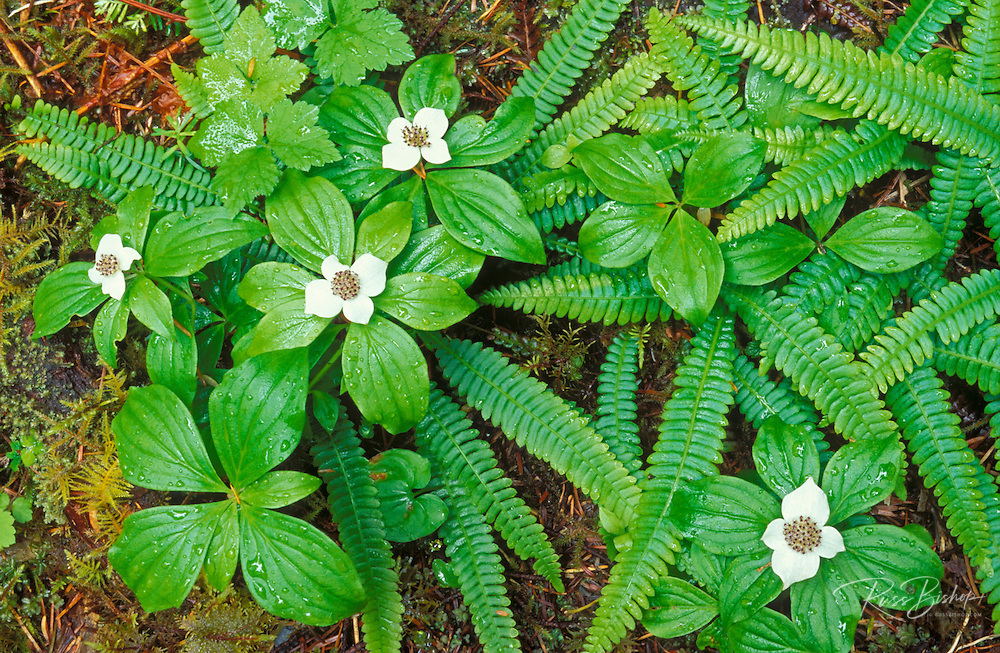 Detail of bunchberry dogwood (Cornus canadensis) in bloom and young sword ferns, Quinault Rain Forest, Olympic National Park, Washington