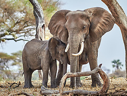 Elephant mother protects its youngster in Tarangire National Park, Tanzania