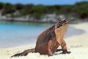 Allen's Cay rock iguana, Cyclura cychlura inornata<br /> ( endemic species ), Allen's Cay, Exuma Cays, Bahamas,<br /> ( Western Atlantic Ocean )