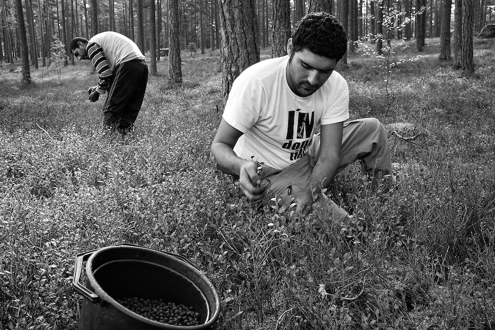 Two Roma men from Bulgaria pick blueberries in the forest between the towns of Katrineholm and Vingåker in Sweden.