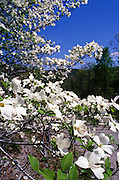 Springtime is welcomed in by the beautiful flowering dogwood trees - Arkansas.