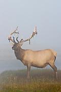 Bull elk shedding velvet during late summer in Wyoming