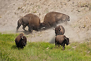 Bull bison fighting during the rut in Yellowstone