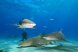 Lemon Sharks, Negaprion brevirostris, and scuba diver, West End, Grand Bahama, Bahamas, Caribbean, Atlantic Ocean