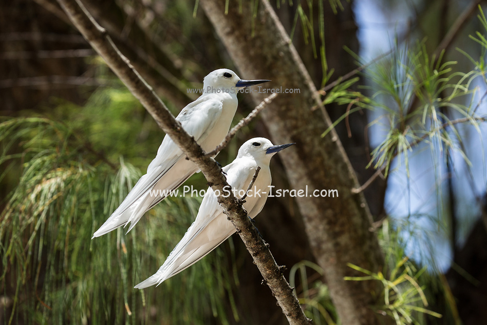Two White tern or White Fairy Tern (Gygis alba) in a  Tree. Photographed on Cousin Island, in the Seychelles, a group of islands north of Madagascar in the Indian Ocean.