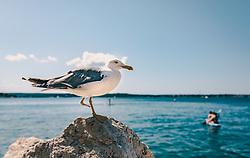 THEMENBILD - eine Möwe auf einem Stein an der Küste, aufgenommen am 16. August 2019 in Piran, Slowenien // a seagull on a rock on the coast, in Piran, Slovenia on 2019/08/16. EXPA Pictures © 2019, PhotoCredit: EXPA/Stefanie Oberhauser